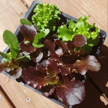 baby lettuce pack